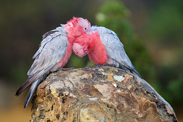 Ballarat Bird World - Australian Galah Cockatoo Pair nuzzling